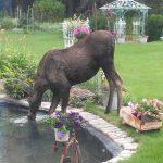 2016-loose-moose