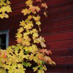 Maple-leaves-on-barn